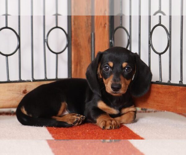 Full screen Photo #1 Dachshund Puppy For Sale in NAPLES, FL, USA