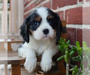 Cavalier King Charles Spaniel Puppy for sale in LANCASTER, PA, USA
