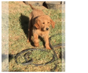 Goldendoodle Dog for Adoption in SCOTTSDALE, Arizona USA
