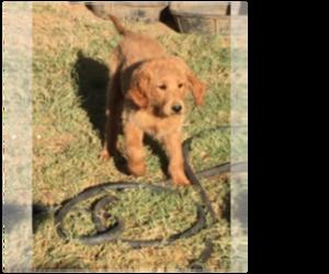 Goldendoodle Dog for Adoption in SCOTTSDALE, Arizona USA