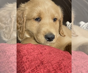 Goldendoodle Puppy for Sale in WOODLAND, Alabama USA