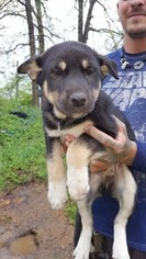 Alaskan Husky-Unknown Mix Dog For Adoption in AVA, MO, USA