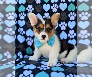 Pembroke Welsh Corgi Puppy for sale in PEACH BOTTOM, PA, USA