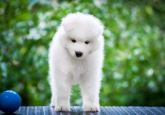 Samoyed Puppy For Sale in CULVER CITY, CA, USA