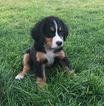 Bernese Mountain Dog Puppy For Sale in KUNA, ID,
