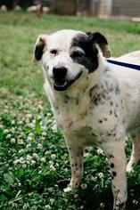 Oreo Smoreo - Pointer / Dalmatian / Mixed (short coat) Dog For Adoption