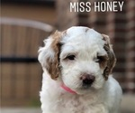 Puppy 2 Poodle (Toy)-Sheepadoodle Mix
