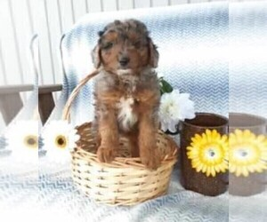 Aussiedoodle Puppy for sale in FREDERICKSBG, OH, USA