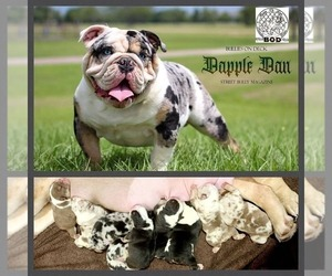English Bulldog Puppy for Sale in HOUSTON, Texas USA