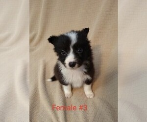 Border Collie Puppy for sale in WEST LIBERTY, KY, USA