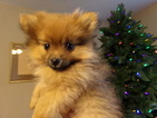 Pomeranian Puppy For Sale in SPRING HILL, KS, USA