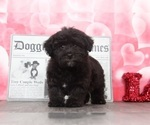 Buster Cute Male YorkiePoo Puppy