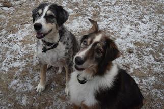 Barney - Australian Shepherd Dog For Adoption