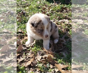 Australian Shepherd Dog for Adoption in TYLER, Texas USA