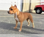 Small #9 American Pit Bull Terrier