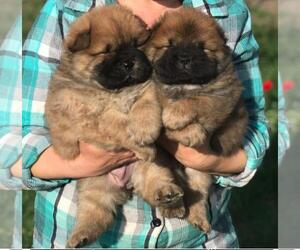 Chow Chow Puppy for sale in KLEIN, TX, USA
