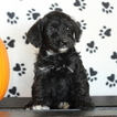 Schnoodle (Miniature) Puppy For Sale in GAP, PA, USA
