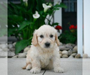 Goldendoodle Puppy for sale in ITASCA, TX, USA