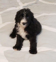 Sheepadoodle Puppy for sale in FRANKLIN, TN, USA