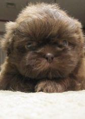 View Ad Shih Tzu Puppy For Sale Texas Houston Usa