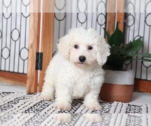 Bichon Frise Puppy for sale in NAPLES, FL, USA