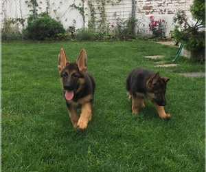 German Shepherd Dog Puppy for Sale in NORTH BERGEN, New Jersey USA