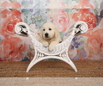 Small Photo #29 English Cream Golden Retriever Puppy For Sale in ARCHBALD, PA, USA