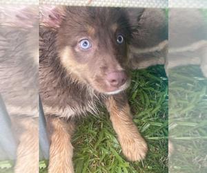 Australian Shepherd Puppy for sale in ALBERTVILLE, AL, USA