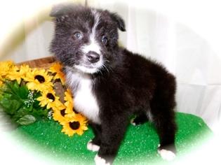 Australian Shepherd Puppy For Sale in HAMMOND, IN, USA