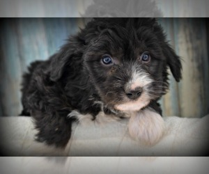 F2 Aussiedoodle Puppy for Sale in NILES, Michigan USA
