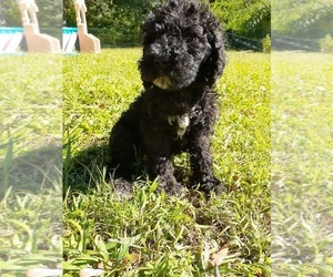 Medium Poodle (Standard)