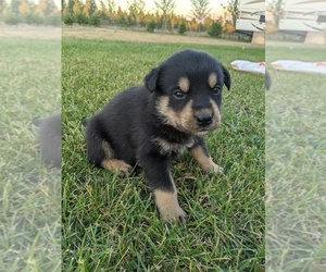 Rottweiler-Siberian Husky Mix Puppy for sale in GARWOOD, ID, USA