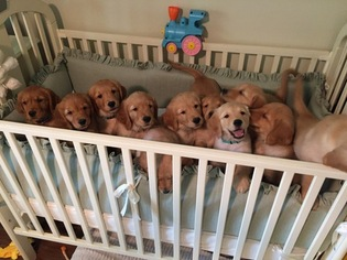 Golden Retriever Puppy For Sale in FORT WORTH, TX, USA