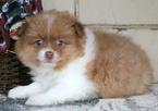 Pomeranian Puppy For Sale in MOUNT JOY, PA, USA