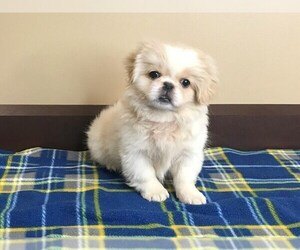 Pekingese Puppy for Sale in EL PASO, Texas USA