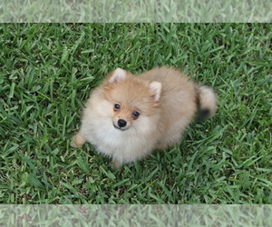 Pomeranian Puppy for Sale in HOLLYWOOD, Florida USA