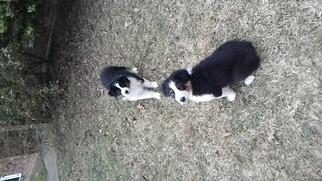 Australian Shepherd Puppy for sale in MONROE, LA, USA