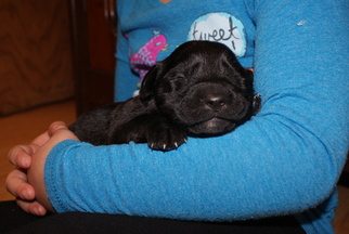 English Shepherd-Labrador Retriever Mix Puppy For Sale in PAOLI, IN