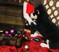 Siberian Husky Puppy For Sale in ALEX, Minnesota,