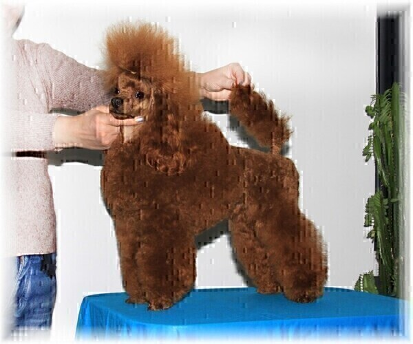 Medium Photo #1 Poodle (Miniature) Puppy For Sale in Bila Tserkva, Kyiv, Ukraine