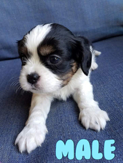 Cavalier King Charles Spaniel Puppy For Sale in MORENO VALLEY, CA, USA