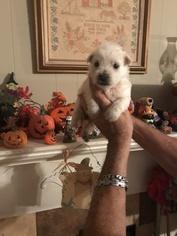 West Highland White Terrier Dog for Adoption in S BRUNSWICK, North Carolina USA