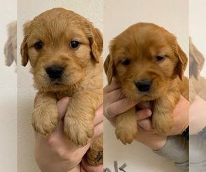 Golden Retriever Puppy for sale in BIRCH BAY, WA, USA