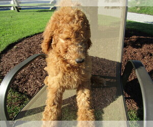 Poodle (Standard) Puppy for sale in BLMGTN, IN, USA