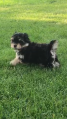 Morkie Puppy for sale in MINNEAPOLIS, MN, USA