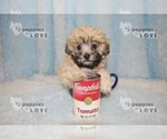 Small #14 Maltese-Poodle (Toy) Mix