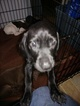 German Shorthaired Pointer Puppy For Sale in WALKERTON, IN