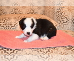 Puppy 3 Border Collie