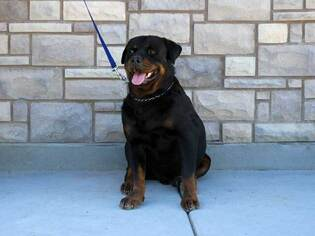 Father of the Rottweiler puppies born on 02/25/2019