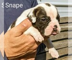 Small #14 American Bulldog